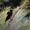 Regent Bowerbirds are one of the visual treats at Lamington National Park. (Photo by participant Rob Colwell)