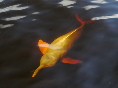 The ghostly creature in the Rio Negro's clear, ebony water is an Amazon River Dolphin. (Photo by participants David & Judy Smith)