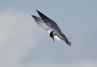 Participants David and Judy Smith did a marvelous job of capturing this Yellow-billed Tern in flight.