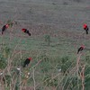 This flock of Scarlet-headed Blackbirds really punctuates the landscape. (Photo by guide Dan Lane)