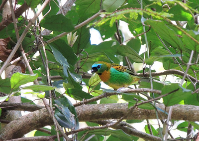 The Brassy-breasted Tanager is equally as stunning as the previous tanager -- just with the head-and-breast pattern switched! (Photo by participant Max Rodel)