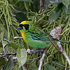 As we continue on the tanager theme, a Green-and-gold Tanager is eye-catching as well. (Photo by participant Roy Giles)
