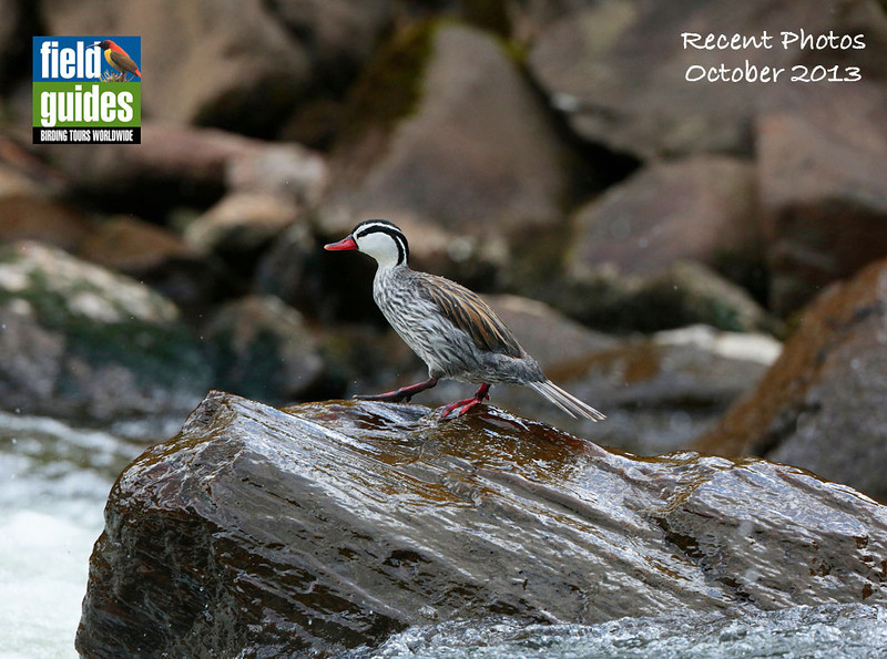 We begin this month's gallery with a fine set of images from our Ecuador: Rainforest & Andes tour by participants traveling with guide Willy Perez. Here's a great shot of a drake of one of the finest waterfowl we know, a Torrent Duck by participant Roy Giles.