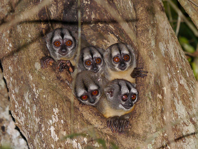 These curious creatures peering out from their day-roost are Three-striped Night Monkeys. (Photo by participants David & Judy Smith)