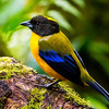 """Black-chinned Mountain-Tanager has a limited range on the west slope of the Andes and rounds out our tanager highlights (of which this tour has many, with more than 40 birds with """"tanager"""" in their names, and 70 in the family!). (Photo by participant Gregg Recer)"""