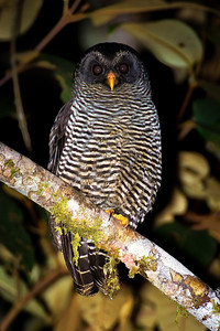 """San Isidro's """"Black-banded"""" Owls are rather distinctive and remain an unsolved taxonomic mystery. (Photo by participant Gregg Recer)"""