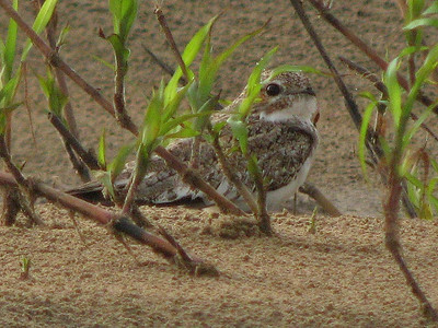 Unlike most members of their family, the Caprimulgidae, Sand-colored Nighthawks -- found on river sandbars in Amazonia --  are gregarious and frequently active during the day. (Photo by participants David & Judy Smith)