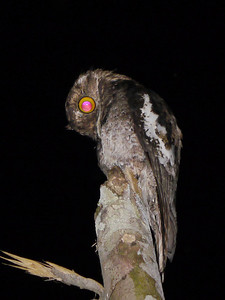 Thanks to enormous and highly reflective eyes, a White-winged Potoo is much easier to spot at night than during the day. This species was virtually unknown to birders just 20 years ago. (Photo by participants David & Judy Smith)