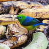 There's nothing like a pile of bananas on a fruit feeder in the tropics to bring in feathered gems like this Blue-naped Chlorophonia. (Photo by participant Max Rodel)