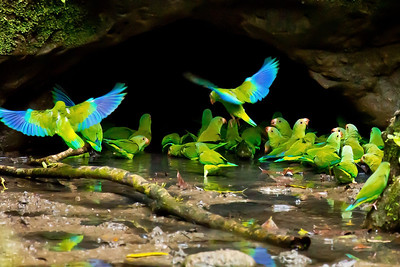 Cobalt-winged Parakeets gather to ingest mineral-rich clay at a lick across the Napo from Sacha Lodge to aid their digestion. (Photo by participant Gregg Recer)
