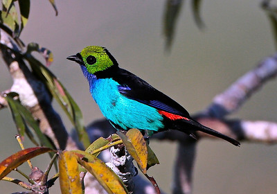 This tour is loaded with flashy birds, but none is flashier than the gorgeous Paradise Tanager. (Photo by participant Roy Giles)