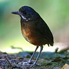 Moustached Antpitta is another species attracted into the open with worms at Refugio Paz. (Photo by participant Roy Giles)