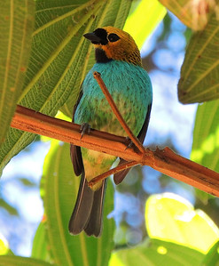 Gilt-edged Tanager is one of the many endemic Atlantic Forest species found on this tour. (Photo by participant Max Rodel)
