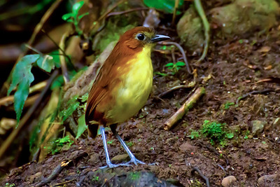 Antpittas used to be the secretive birds you dreamed about but never got to see. Angel Paz and his family at Refugio Paz have changed the game. This Yellow-breasted Antpitta is one of the species they have managed, remarkably, to make more cooperative. (Photo by participant Gregg Recer)