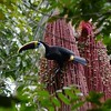 This White-throated Toucan is clinging to a shower of palm fruits. (Photo by participants David & Judy Smith)