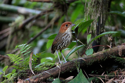 Angel's strategy of training with worms is catching on elsewhere. Here's a Chestnut-crowned Antpitta from San Isidro. (Photo by participant Roy Giles)