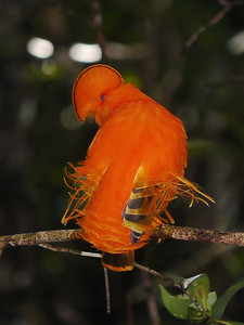 A male Guianan Cock-of-the-rock is so brilliant it appears to be ablaze. Check out the crest that covers the bill and those wild wing-covert filaments! (Photo by participants David & Judy Smith)
