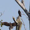 Sure, you noticed the Lesser Yellow-headed Vultures, but do you see any other birds in the image? Check out the cryptic Great Potoo with young in the upper right. (Photo by participants David & Judy Smith)