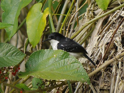 Black-and-white Antbird is a highly restricted species found only on river islands in Amazonia. (Photo by participants David & Judy Smith)