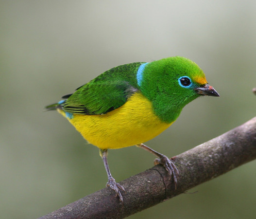 "Another beautiful shot by Ed: the simply amazing Blue-naped Chlorophonia.  Have you ever seen a bird with an eyering of that color? <div id=""caption_tourlink"" align=""right"">[photo © participant Ed Hagen]</div>"