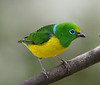 """Another beautiful shot by Ed: the simply amazing Blue-naped Chlorophonia.  Have you ever seen a bird with an eyering of that color? <div id=""""caption_tourlink"""" align=""""right"""">[photo © participant Ed Hagen]</div>"""