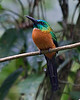 "A Great Jacamar waits for a flying insect to come into range of a quick sally.<div id=""caption_tourlink"" align=""right"">[photo © participant Johnny Powell]</div>"