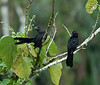 "Moving from Mexico way down Central America to easternmost Panama, we reach the destination of our Panama's Wild Darien itinerary: the historic gold mining site of Cana, now surrounded by lush forest.  Here, a nicely posed pair of Smooth-billed Anis, by participant Johnny Powell .<div id=""caption_tourlink"" align=""right"">[photo © participant Johnny Powell]</div>"