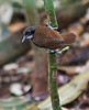 "A Bicolored Antbird -- this is a regular attendant at army ant swarms in Darien, and here's a typical pose: grasping a vertical sapling trunk as the bird scans for insects being flushed by the raiding ants.<div id=""caption_tourlink"" align=""right"">[photo © participant Johnny Powell]</div>"