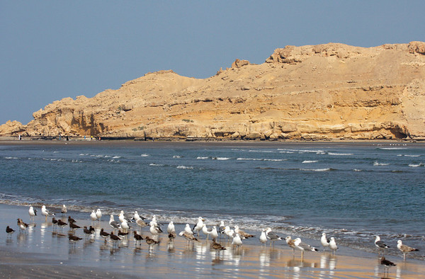 """A mixed gull flock on the beach at Ras As Sawadi that contains Caspian, Sooty, and probably a few Heughlin's gulls. <div id=""""caption_tourlink"""" align=""""right"""">[photo © guide George Armistead]</div>"""