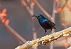 """A male Palestine Sunbird was an iridescent find. <div id=""""caption_tourlink"""" align=""""right"""">[photo © guide George Armistead]</div>"""