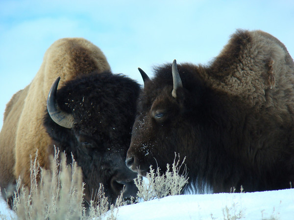 """Yellowstone is famous for many things, among them of course the Bison... <div id=""""caption_tourlink"""" align=""""right"""">[photo © Jan Pierson]</div>"""