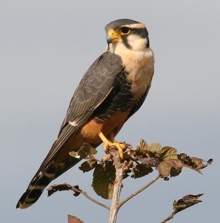 "Ed's final picture in this month's selection: an elegant Aplomado Falcon, a regular feature of the open areas of Venezuela's <i>llanos</i>, or seasonally flooded grasslands. <div id=""caption_tourlink"" align=""right"">[photo © participant Ed Hagen]</div>"