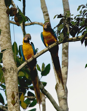 """A pair of Blue-and-yellow Macaws -- it's hard to do them justice in an image this small!<div id=""""caption_tourlink"""" align=""""right"""">[photo © participant Johnny Powell]</div>"""