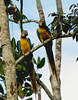 "A pair of Blue-and-yellow Macaws -- it's hard to do them justice in an image this small!<div id=""caption_tourlink"" align=""right"">[photo © participant Johnny Powell]</div>"