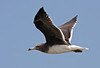 """Our group readily found Sooty Gulls along the beaches of Oman. <div id=""""caption_tourlink"""" align=""""right"""">[photo © guide George Armistead]</div>"""