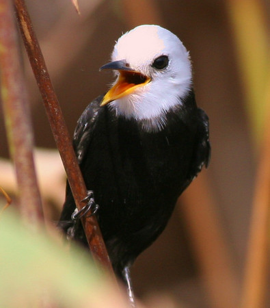 "White-headed Marsh-Tyrants are diminutive but striking inhabitants of marshes in tropical areas across much of South America. Ed captured this image of a male on our recent Venezuela tour guided by John Coons. <div id=""caption_tourlink"" align=""right"">[photo © participant Ed Hagen]</div>"