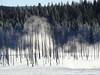 "Dead and live treescape at Fountain Paint Pots.<div id=""caption_tourlink"" align=""right"">[photo © Jan Pierson]</div>"