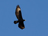 """An adult Verreaux's Eagle; this species is near the northern end of its range on our Oman & the UAE tour route. <div id=""""caption_tourlink"""" align=""""right"""">[photo © guide George Armistead]</div>"""