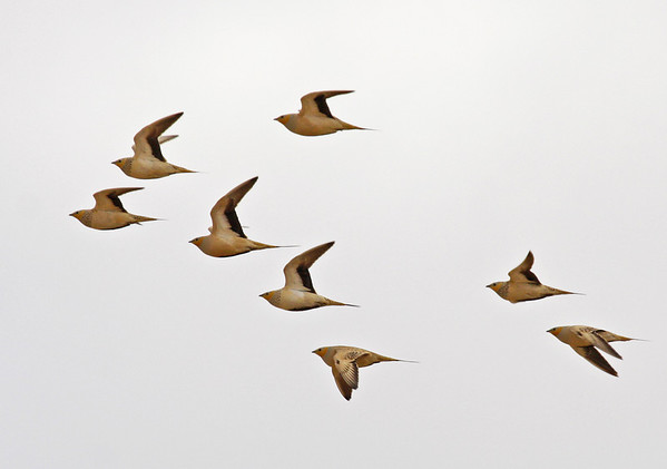"A flock of Spotted Sandgrouse near Quitbit. Our group would see roughly 500 of them on this day. The females have spotted necks and throats and also shorter tails. <div id=""caption_tourlink"" align=""right"">[photo © guide George Armistead]</div>"