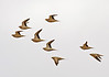 """A flock of Spotted Sandgrouse near Quitbit. Our group would see roughly 500 of them on this day. The females have spotted necks and throats and also shorter tails. <div id=""""caption_tourlink"""" align=""""right"""">[photo © guide George Armistead]</div>"""
