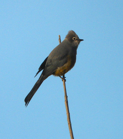 """Let's now move back to the New World, our Oaxaca tour in fact.  Here, a fine male Gray Silky-flycatcher basks in the early rays of the morning sun in the first image in a series by guide Dan Lane.<div id=""""caption_tourlink"""" align=""""right"""">[photo © guide Dan Lane]</div>"""