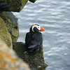 """Tufted Puffin is another glorious alcid species seen regularly at nest sites on St Paul in the Pribilof Islands.<div id=""""caption_tourlink"""" align=""""right"""">Link to: <a id=""""caption_tourlink"""" href=""""http://www.fieldguides.com/alaska.htm"""" target=""""_blank"""">ALASKA</a><br>[photo © participant Pat Newman]</div>"""