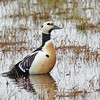 """Alaska is a prime destination for numerous birds of limited or regional distribution, prizes for any birder.  Above, a beautiful drake Steller's Eider along the Gaswell Road in Barrow.<div id=""""caption_tourlink"""" align=""""right"""">Link to: <a id=""""caption_tourlink"""" href=""""http://www.fieldguides.com/alaska.htm"""" target=""""_blank"""">ALASKA</a><br>[photo © George Armistead]</div>"""
