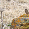 """A Rufous-tailed Robin for our second tour was an incredible vagrant, as it breeds only as far north as Northern China and Mongolia -- it was a lifer for everyone in our group, who hadn't yet heard that, amazingly, another one had been found on Attu just a couple of days earlier!<div id=""""caption_tourlink"""" align=""""right"""">Link to: <a id=""""caption_tourlink"""" href=""""http://www.fieldguides.com/alaska.htm"""" target=""""_blank"""">ALASKA</a><br>[photo © George Armistead]</div>"""