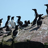 "Like Alaska, the Canadian Maritimes are an important destination for birders seeking seabirds, and our Newfoundland & Nova Scotia tour begins with a big dose of such specialties on a visit to famous Witless Bay south of St. John's, where a common breeder on Gull Island is the dapper Razorbill.<div id=""caption_tourlink"" align=""right"">Link to: <a id=""caption_tourlink"" href=""http://www.fieldguides.com/novascotia.htm"" target=""_blank"">NEWFOUNDLAND & NOVA SCOTIA</a><br>[photo © Chris Benesh]</div>"