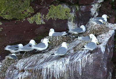 Here's a much more elegant view of Black-legged Kittiwakes at the Witless Bay colony, Newfoundland, also by participant Kay Niyo.Link to: NEWFOUNDLAND & NOVA SCOTIA[photo © participant Kay Niyo]