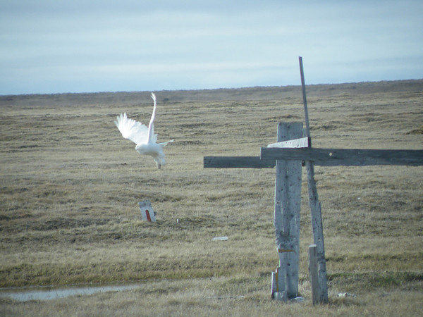 "Most Snowy Owl sightings are of perched birds, but participant Pat Newman caught this magnificent individual taking off at Barrow.<div id=""caption_tourlink"" align=""right"">Link to: <a id=""caption_tourlink"" href=""http://www.fieldguides.com/alaska.htm"" target=""_blank"">ALASKA</a><br>[photo © participant Pat Newman]</div>"