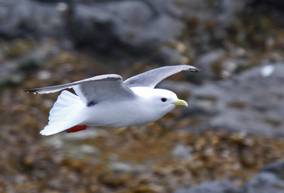 "An adult Red-legged Kittiwake at St. Paul Island in the Pribilofs. This photo was taken at Polovina Point on the first afternoon of our second tour. In the Aleut language Polovina means ""midland,"" and this area is roughly halfway between the seal rookeries at southernmost Reef Point and Northeast Point. Compared to Black-legged Kittiwake note the red legs, the larger eye of this bird (Red-legs feed more nocturnally than Black-legs), the shorter, thicker bill, and the slightly darker mantle.Link to: ALASKA[photo © George Armistead]"