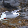 """An adult Red-legged Kittiwake at St. Paul Island in the Pribilofs. This photo was taken at Polovina Point on the first afternoon of our second tour. In the Aleut language Polovina means """"midland,"""" and this area is roughly halfway between the seal rookeries at southernmost Reef Point and Northeast Point. Compared to Black-legged Kittiwake note the red legs, the larger eye of this bird (Red-legs feed more nocturnally than Black-legs), the shorter, thicker bill, and the slightly darker mantle.<div id=""""caption_tourlink"""" align=""""right"""">Link to: <a id=""""caption_tourlink"""" href=""""http://www.fieldguides.com/alaska.htm"""" target=""""_blank"""">ALASKA</a><br>[photo © George Armistead]</div>"""