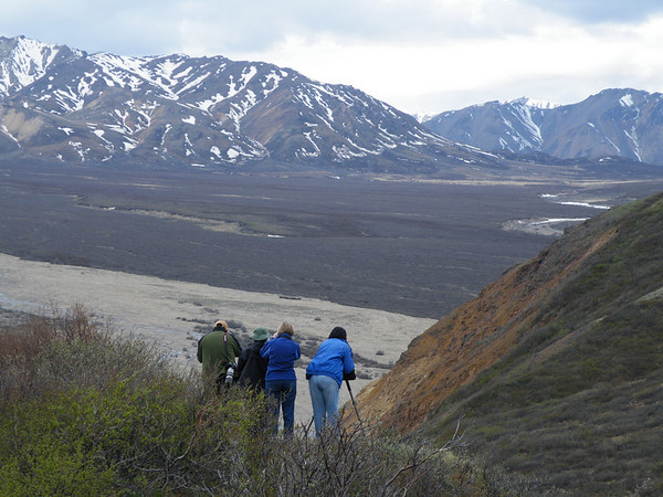 "On the same theme of birding backdrops, part of one of our groups scanning across a broad valley in Denali National Park, also by participant Pat Newman.<div id=""caption_tourlink"" align=""right"">Link to: <a id=""caption_tourlink"" href=""http://www.fieldguides.com/alaska.htm"" target=""_blank"">ALASKA</a><br>[photo © participant Pat Newman]</div>"
